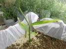 زنجبیل - جوانه زنجبیل - Zingiber officinalis Rose