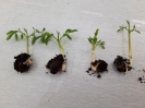 مورینگا الیفرا - Moringa oleifera