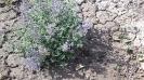 پونه سای ایرانی