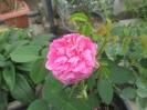 گل محمدی صدپر