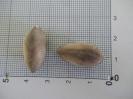 مورینگا پرگرینا یا گز روغنی - Moringa peregrina