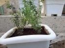 آویشن باغی