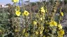 گل ماهور
