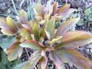 گل صد تومانی