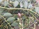 هندوانه کوهی،کور (کبر)